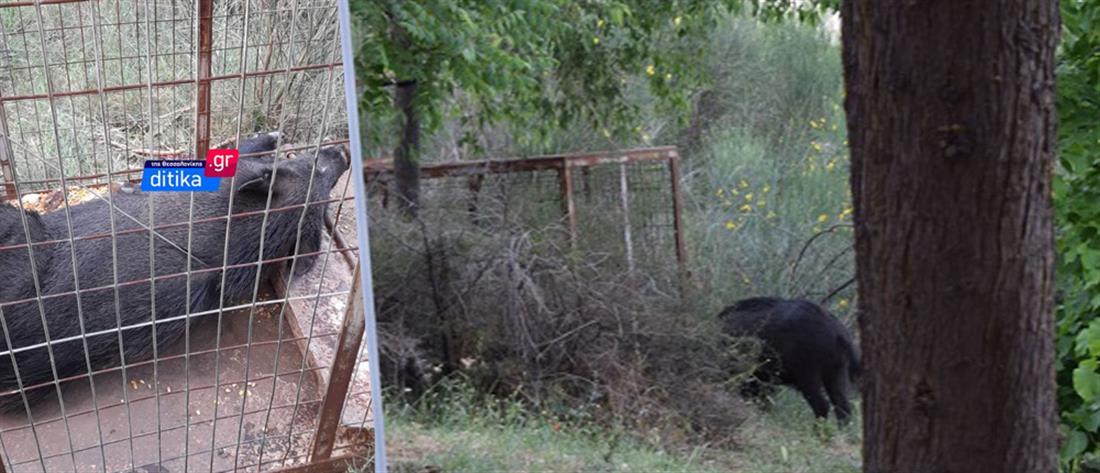 Θεσσαλονίκη: Αιχαλωτίστηκε το αγριογούρουνο στο άλσος Συκεών (βίντεο)