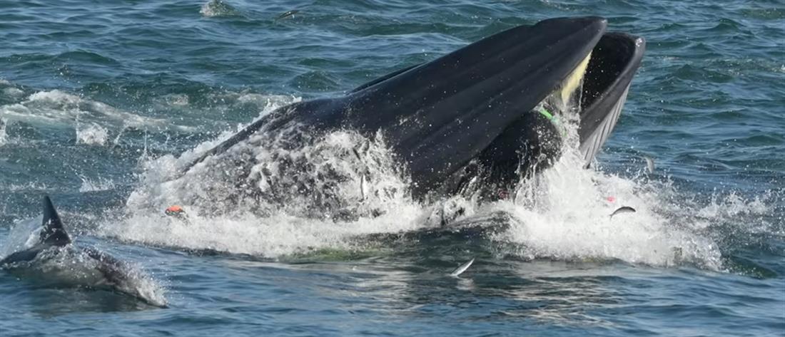 Τον κατάπιε φάλαινα αλλά κατόρθωσε να βγει από το στόμα της (βίντεο)