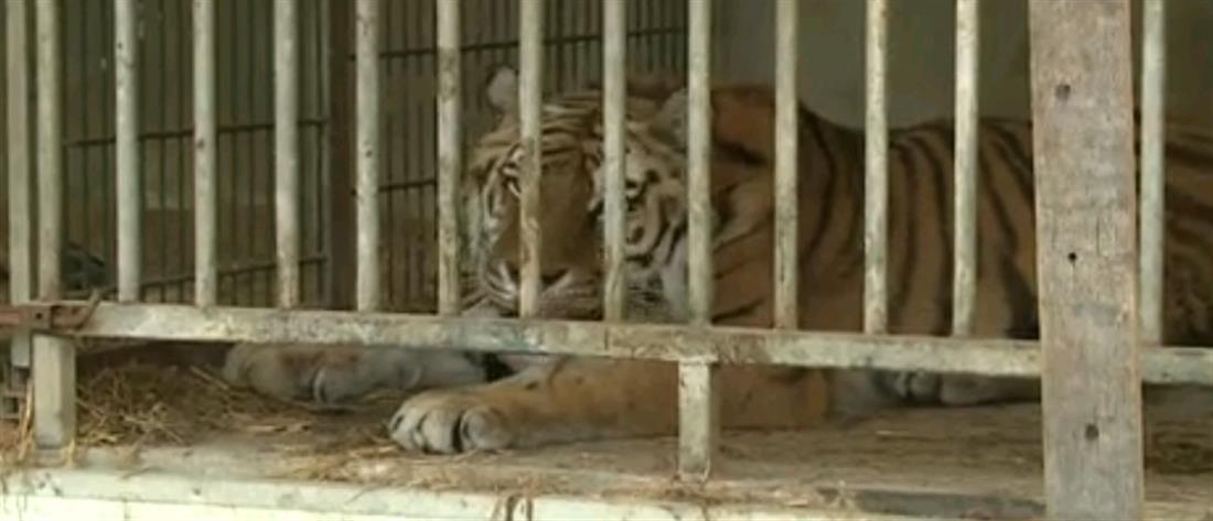 Χάιδεψε την τίγρη κι εκείνη της έφαγε το χέρι (βίντεο)
