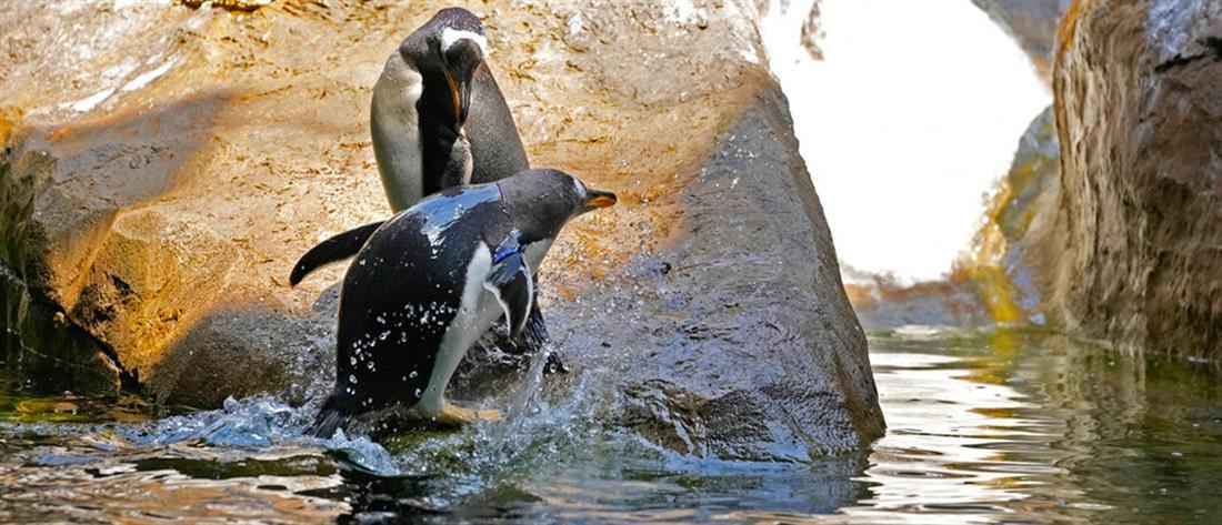 Μέλισσες σκότωσαν 63 πιγκουίνους