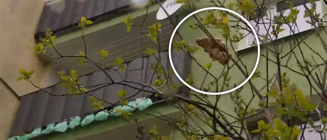 """""""Τέρας"""" σε δέντρο γειτονιάς ήταν…κρουασάν (εικόνες)"""
