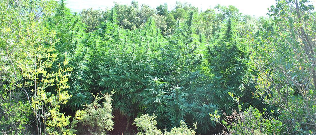 """""""Επαγγελματική"""" φυτεία στον Παρνασσό εντόπισε η Δίωξη Ναρκωτικών (εικόνες)"""