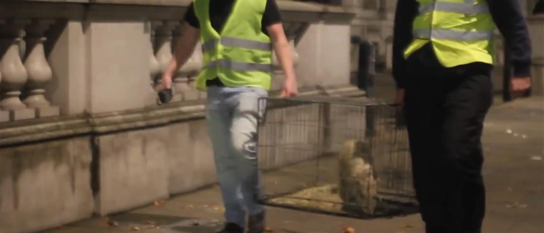 #Piggate: Φαρσέρ «παρέδωσαν γουρούνι» στον Κάμερον (βίντεο)