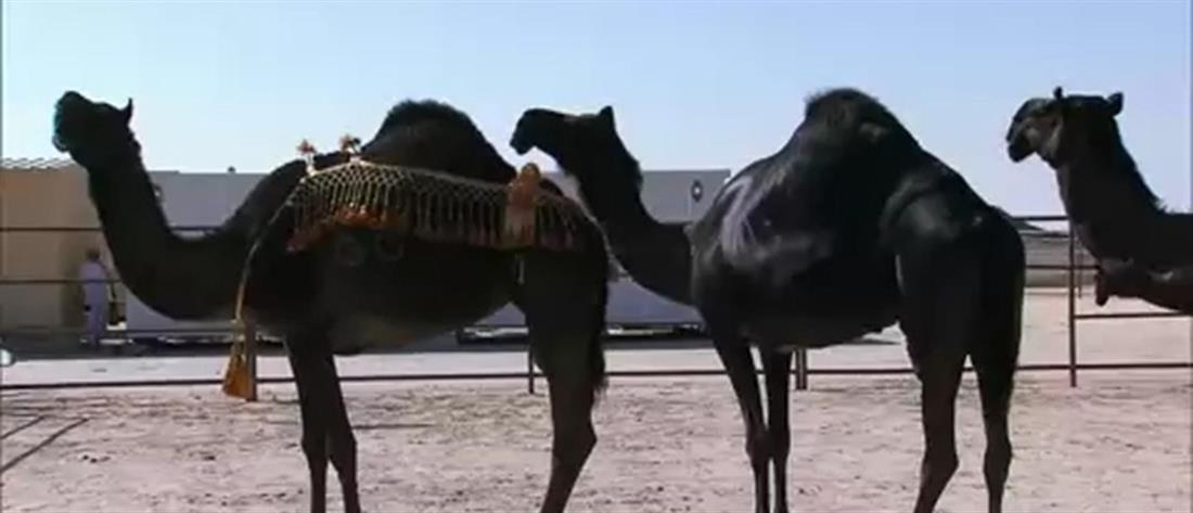 Διαγωνισμός ομορφιάς - Καμήλες