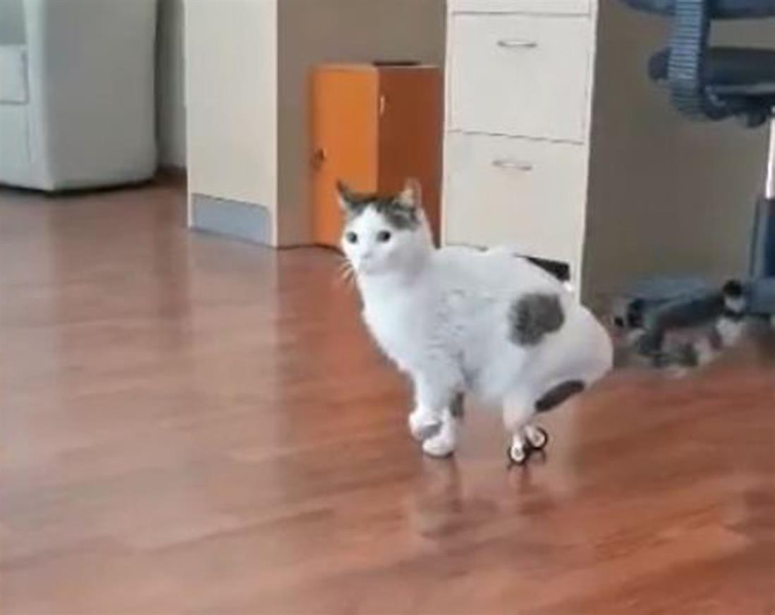 Λαμία - γάτος - τεχνητά πόδια
