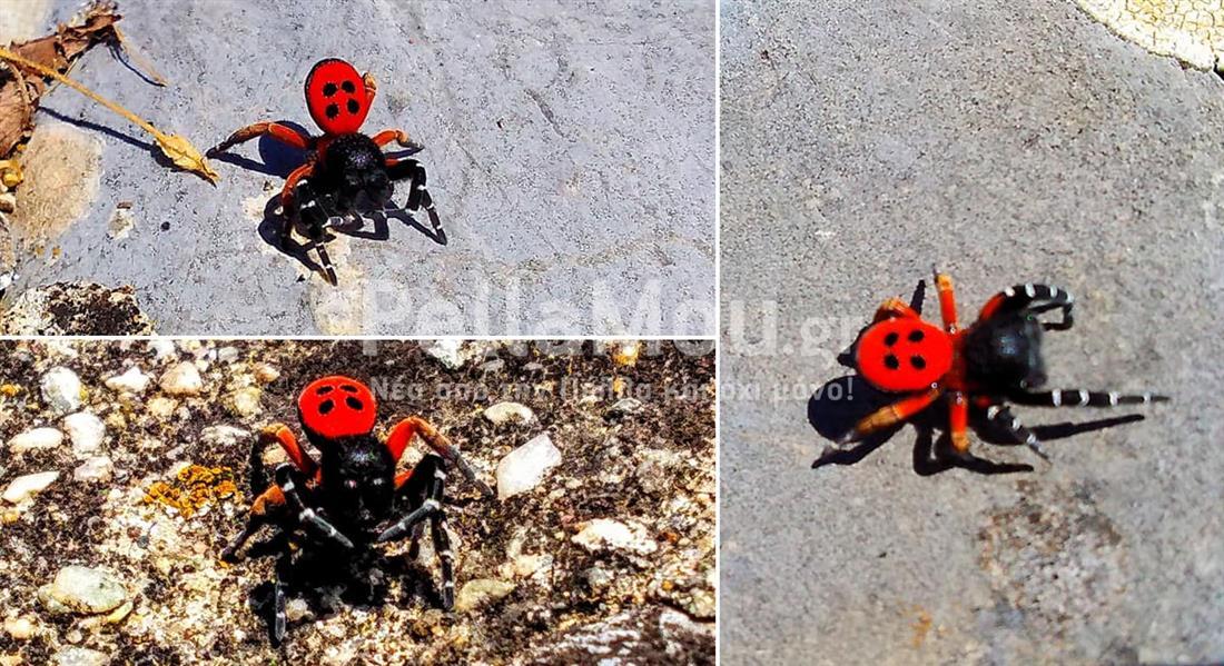 Αράχνη - Πασχαλίτσα Πέλλα