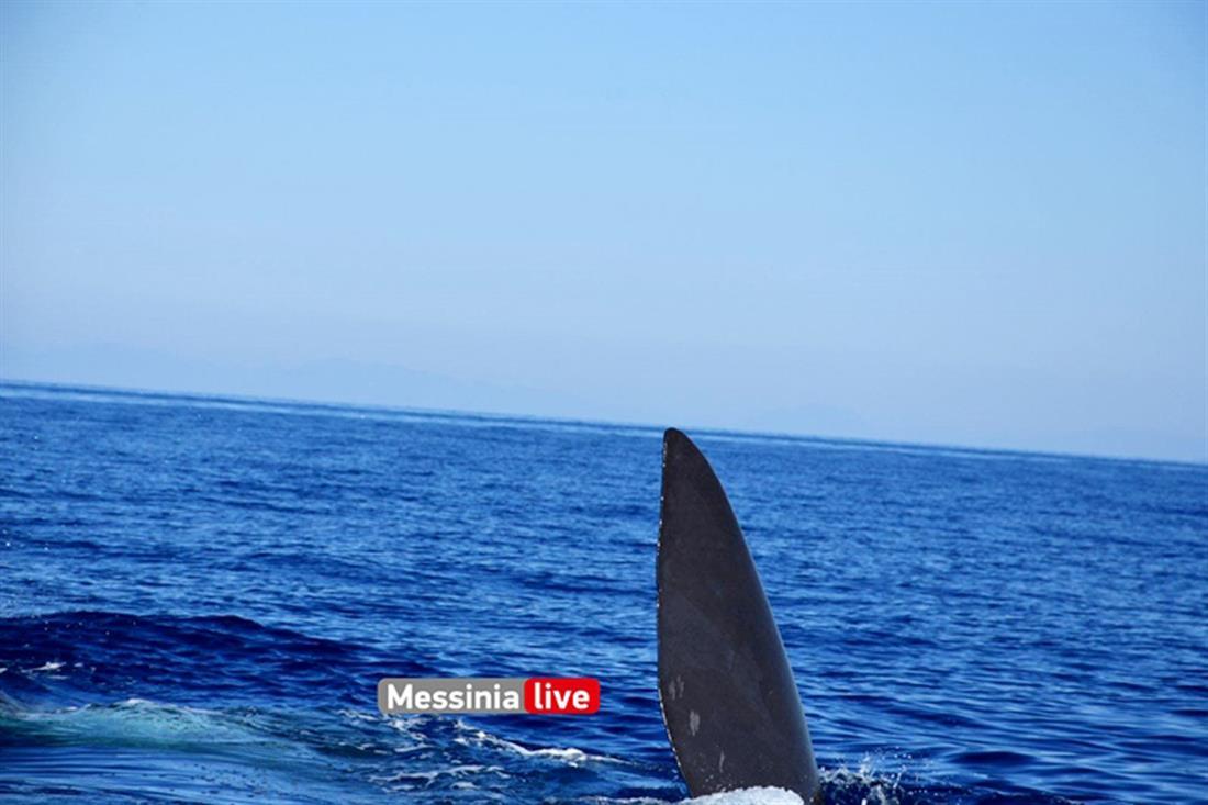 Φάλαινα φυσητήρας - Μάνη
