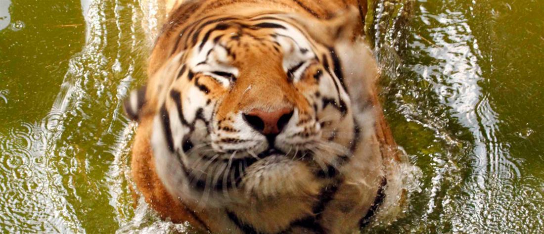 Τετ α τετ αγρότη με σπάνια τίγρη (βίντεο)