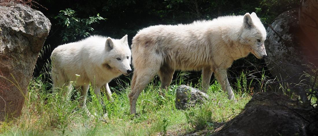 """Μία αγέλη έξι λύκων από την Ιταλία στο καταφύγιο του """"Αρκτούρου"""" (βίντεο)"""