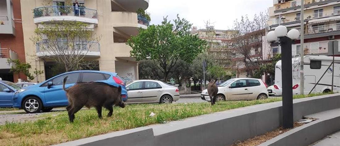 Θεσσαλονίκη: Αγριογούρουνα πήγαν για... μεζέ (εικόνα)