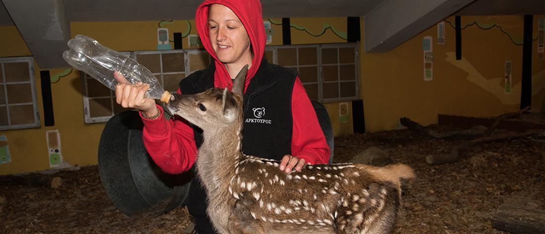 """Ο """"Αρκτούρος"""" φροντίζει μωρό ελαφάκι που έσωσε κτηνοτρόφος (εικόνες)"""