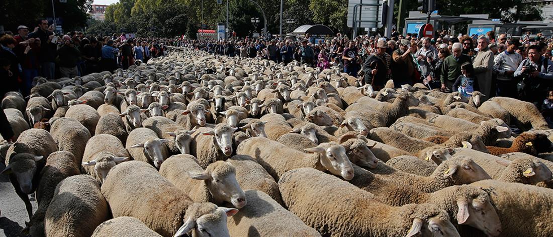 Πρόβατα αντί για αυτοκίνητα στους δρόμους της Μαδρίτης (βίντεο)