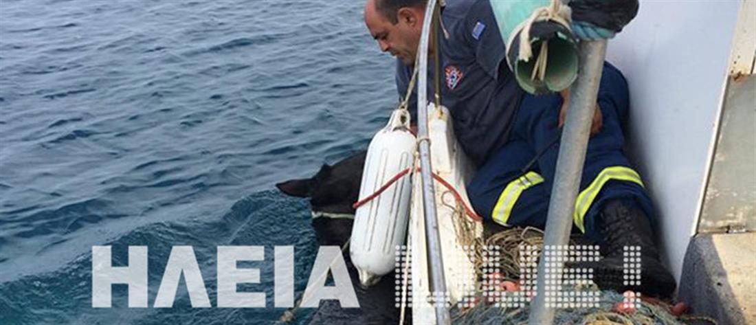Άλογο – ναυαγός κολυμπούσε 15 μέρες – Συγκλονιστικές εικόνες από τη δραματική διάσωση