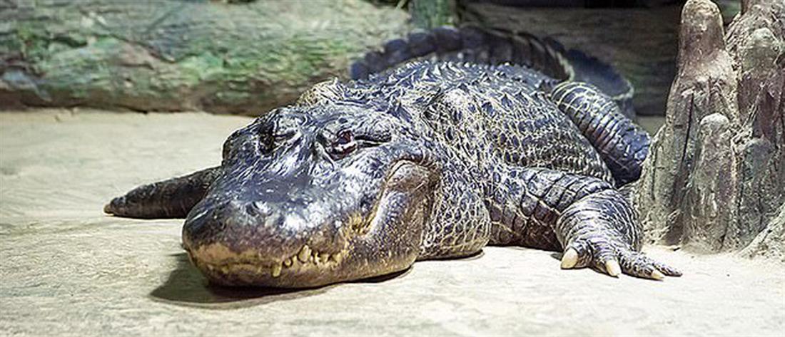 """Πέθανε ο κροκόδειλος – θρύλος """"Σατούρν"""" (εικόνες)"""