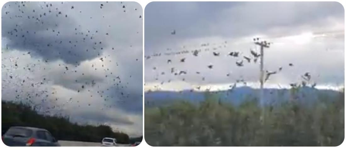 Εκατοντάδες ψαρόνια συντροφεύουν τους οδηγούς στην Εθνική Οδό (βίντεο)