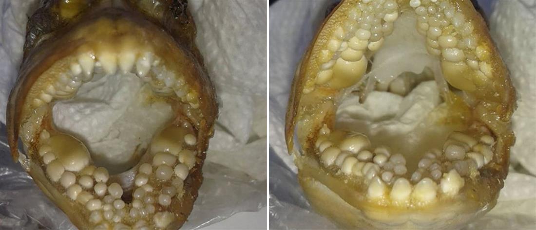 """Ψάρι με """"ανθρώπινα δόντια"""" πιάστηκε στην Αργολίδα (εικόνες)"""