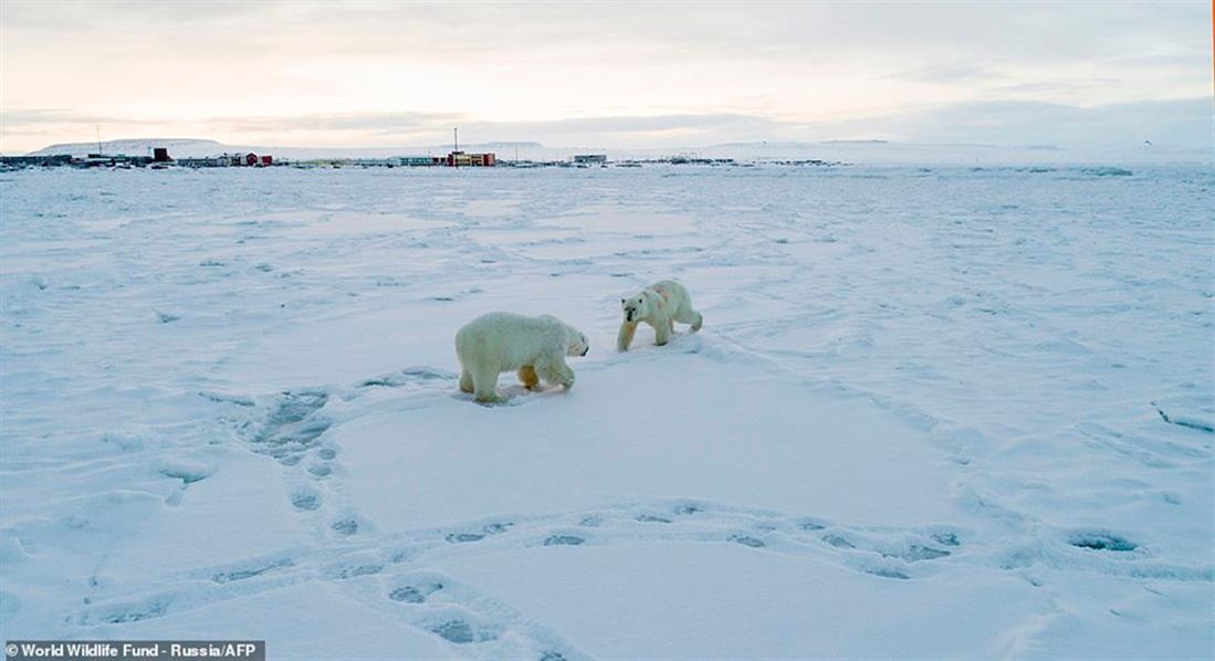 Πολικές αρκούδες - Ryrkaypiy - Ρωσία