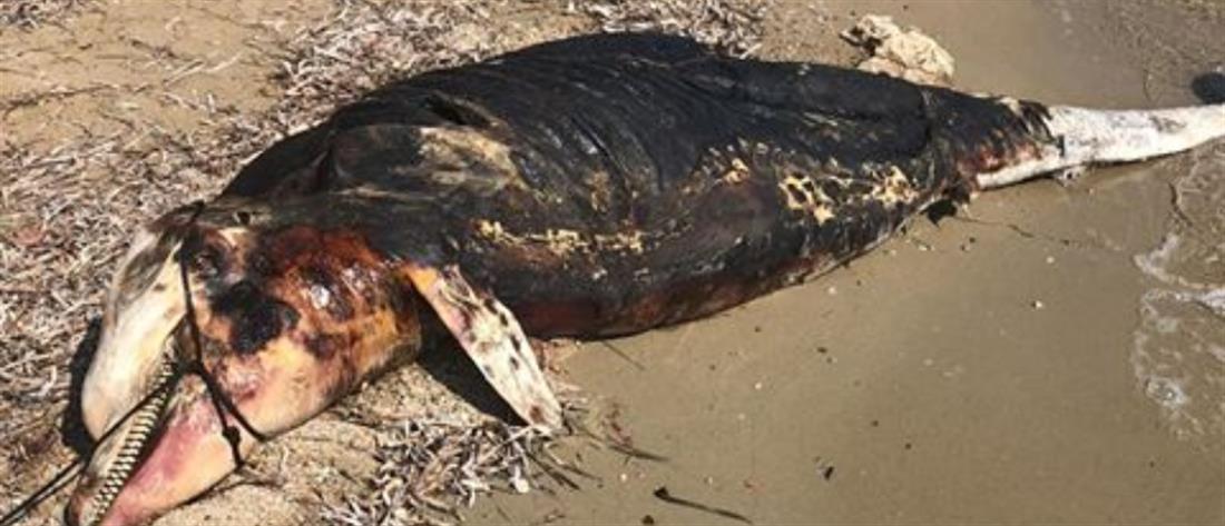 Νεκρό δελφίνι σε παραλία της Χαλκιδικής (εικόνες)