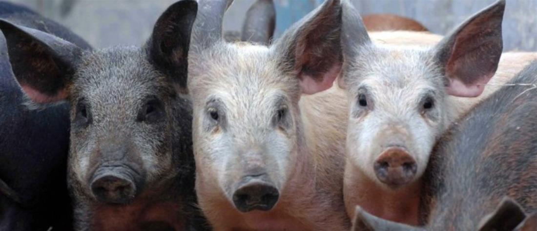 Φρίκη: Λιποθύμησε στο χοιροστάσιο και την κατασπάραξαν τα πεινασμένα γουρούνια!