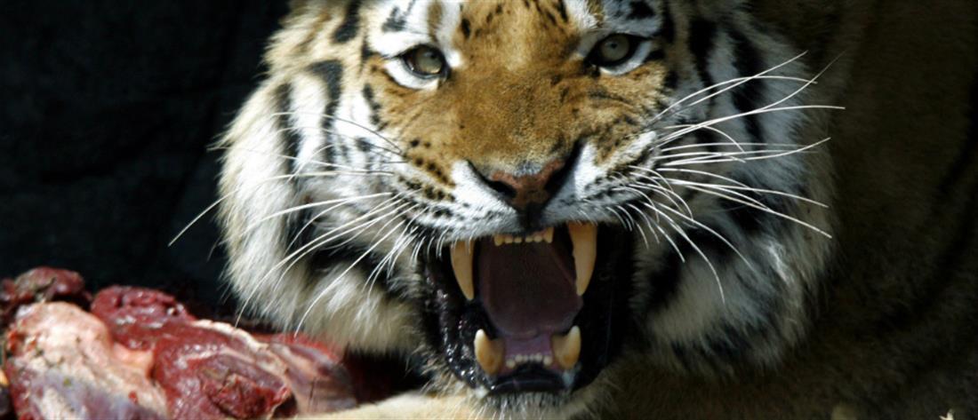 Φονική επίθεση τίγρης σε ζωολογικό κήπο