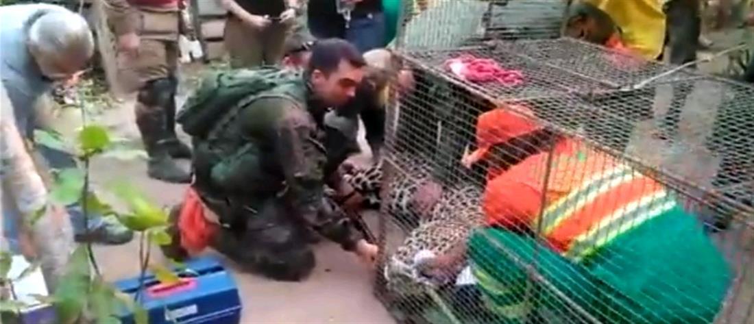 Επιχείρηση διάσωσης τραυματισμένου τζάγκουαρ (βίντεο)