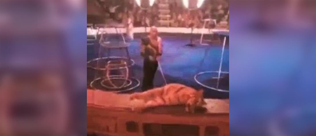 Τίγρης κατέρρευσε την ώρα παράστασης σε τσίρκο (βίντεο)