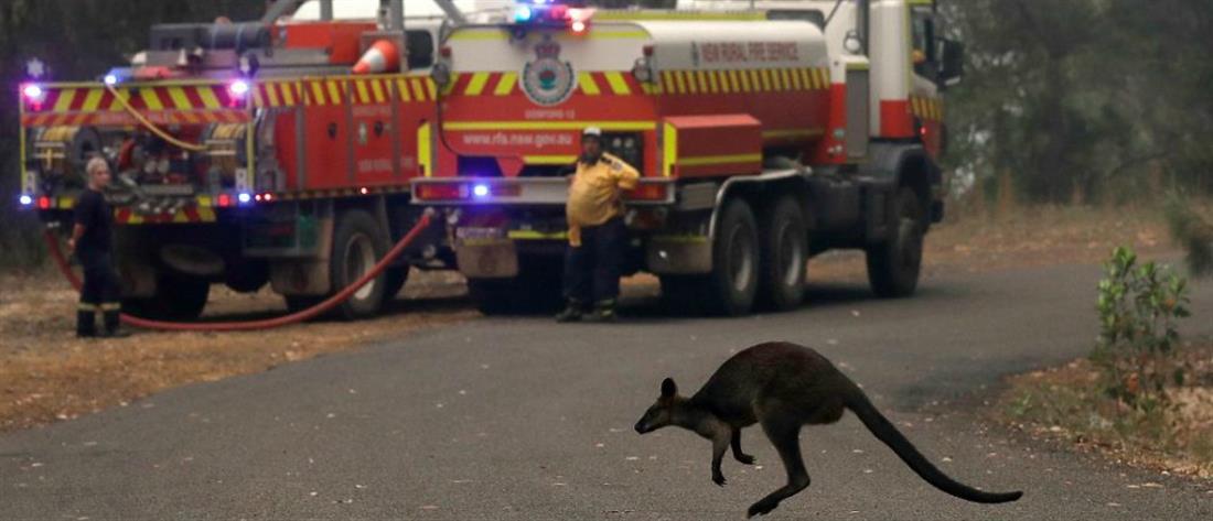 """Πυρκαγιές στη Αυστραλία: """"Μάννα εξ ουρανού"""" για τα ζώα που λιμοκτονούν (εικόνες)"""
