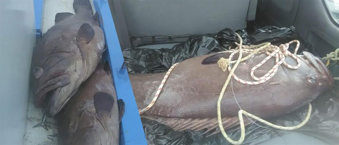 Σίφνος: ψάρεψε βλάχο 75 κιλών! (βίντεο)