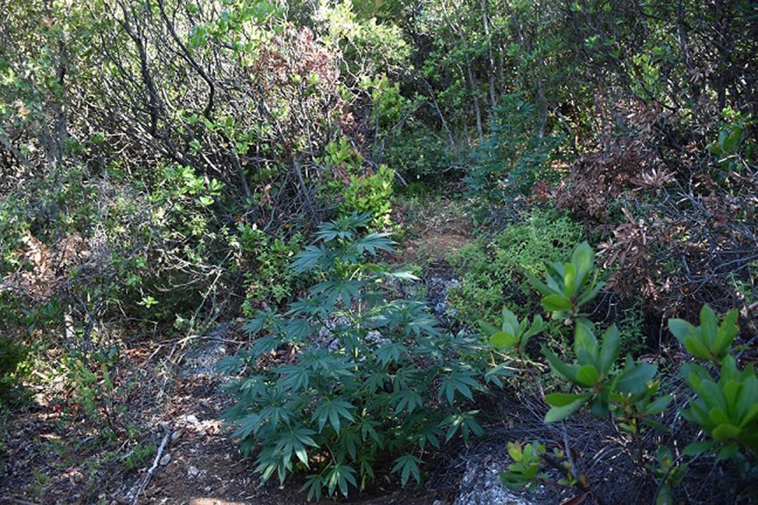 φυτεία δενδρυλλίων κάνναβης - Χελωνάκια - Κρεμμυδίων