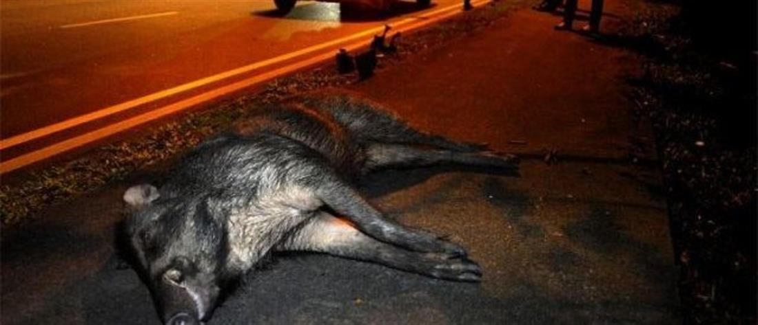 Λαμία: Τροχαίο τη νύχτα με τεράστιο αγριογούρουνο