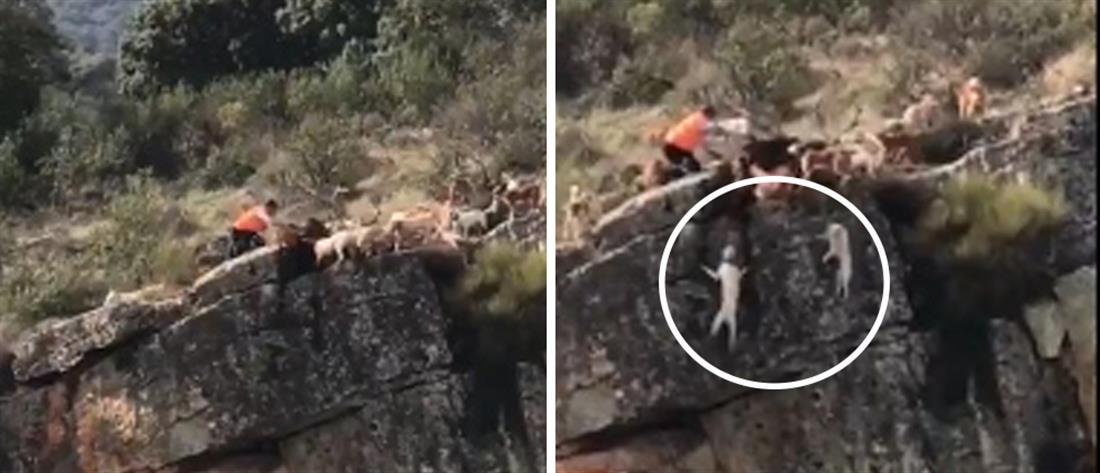 Βίντεο-σοκ: σκυλιά και ελάφι πέφτουν σε γκρεμό στη διάρκεια κυνηγιού