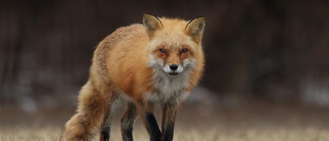 Αλεπού δάγκωσε νεαρό