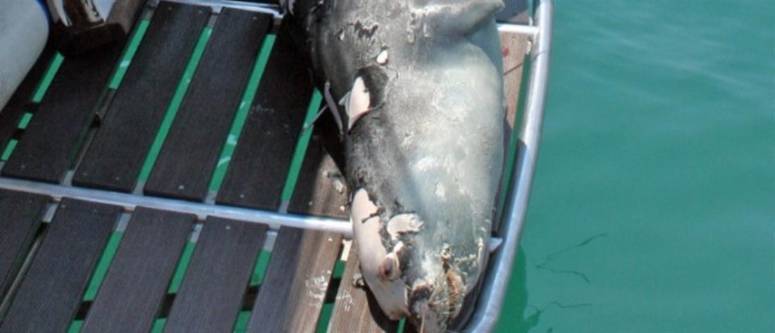 """Αλόννησος: Σκότωσαν τον """"Κωστή"""", τη φώκια μασκότ του νησιού"""