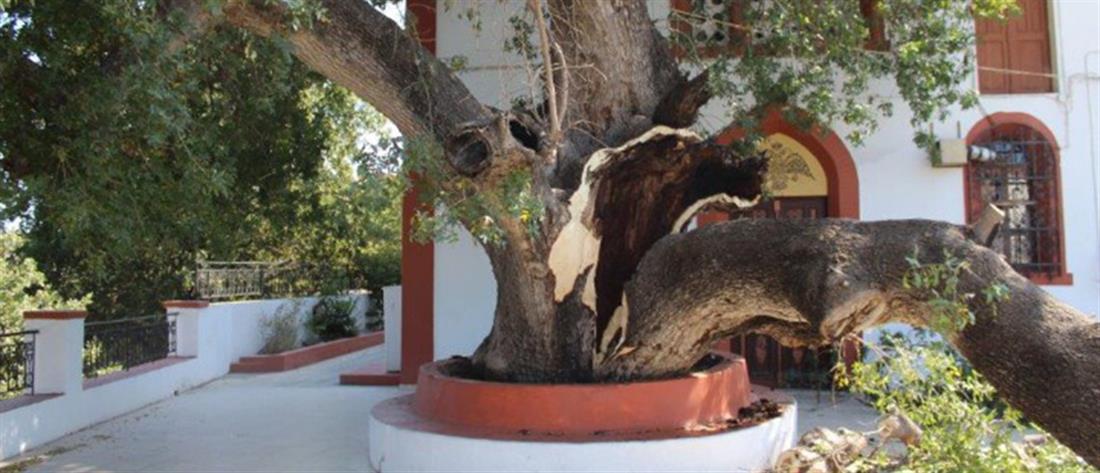 Κατέρρευσε υπεραιωνόβιο δέντρο - Από θαύμα γλίτωσε ναός (εικόνες)