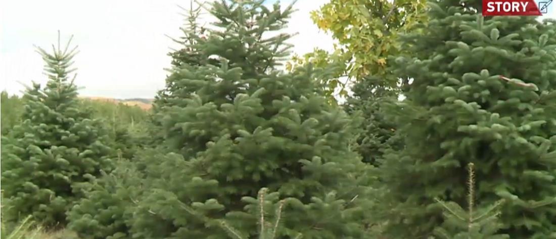 """Ταξιάρχης Χαλκιδικής: Ο κορονοϊός βάζει σε """"καραντίνα"""" τα χριστουγεννιάτικα έλατα (βίντεο)"""