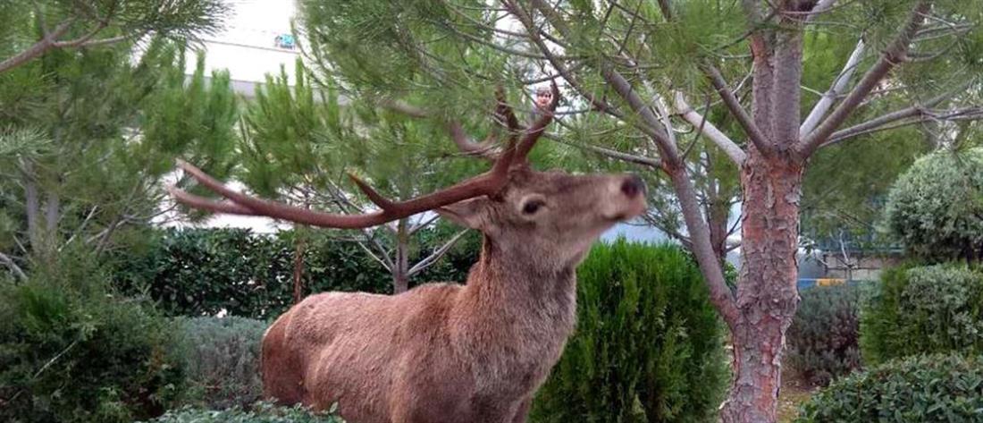 Ελάφι βολτάρει στους Θρακομακεδόνες (βίντεο)