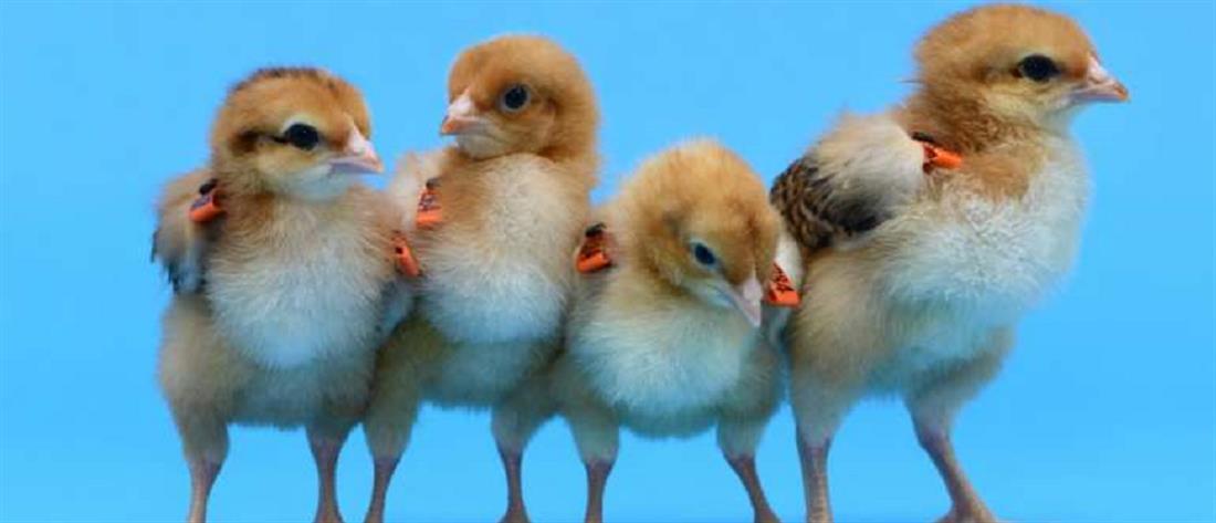 Δημιουργήθηκαν κότες που προορίζονται μόνο για παρένθετες μητέρες