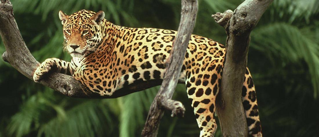 λεοπάρδαλη - άγρια ζώα