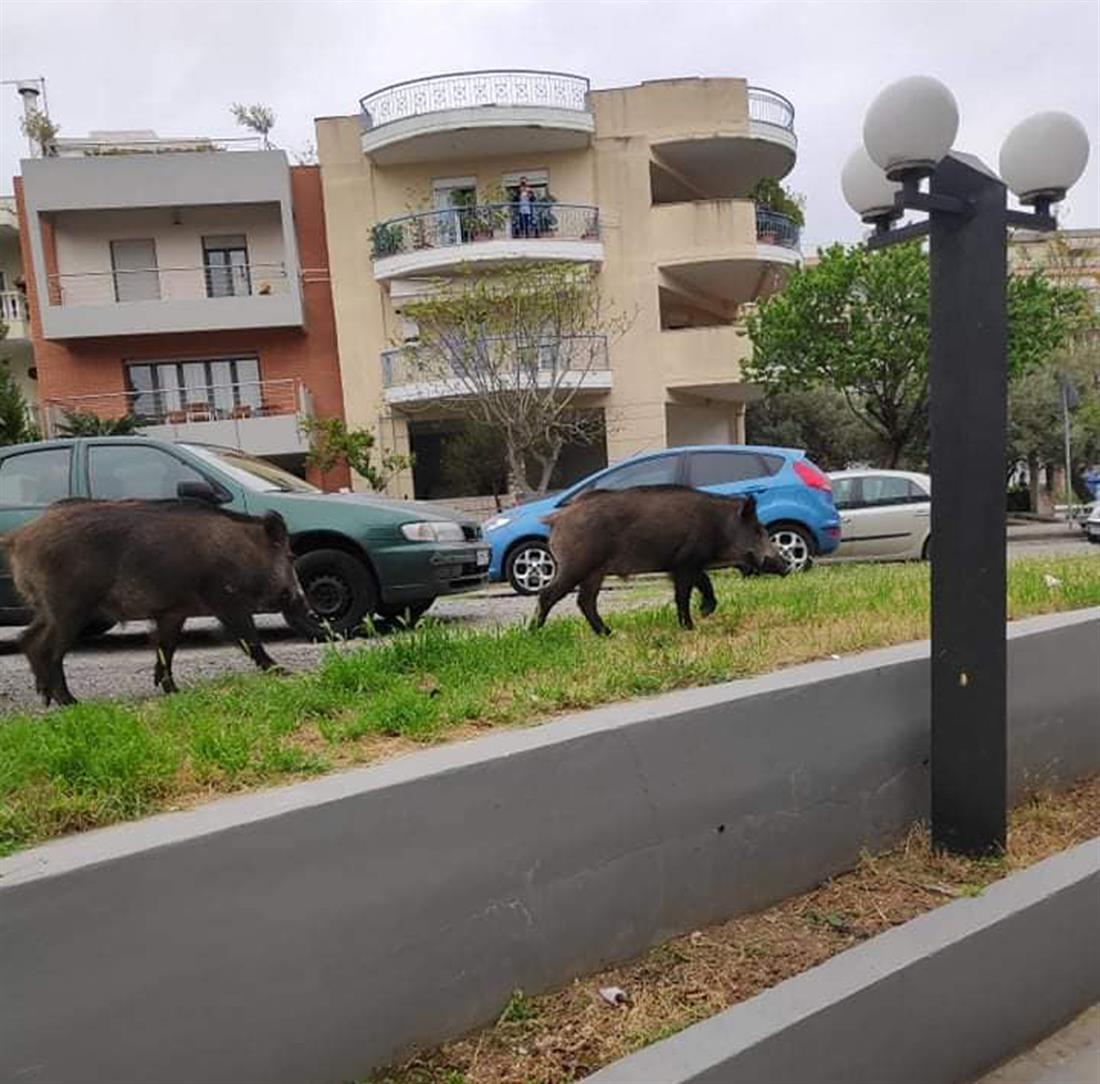 Αγριογούρουνα - Θεσσαλονίκη - Κηφισιά