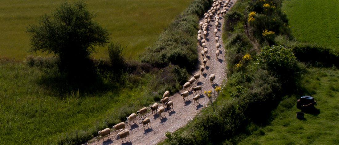 """Τα πρόβατα """"έσκασαν"""" από το… φαγητό"""