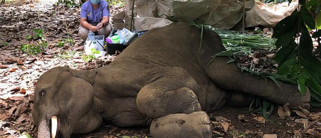 Φρίκη: Τάισαν έγκυο ελεφαντίνα ανανά με κροτίδα (σκληρές εικόνες)