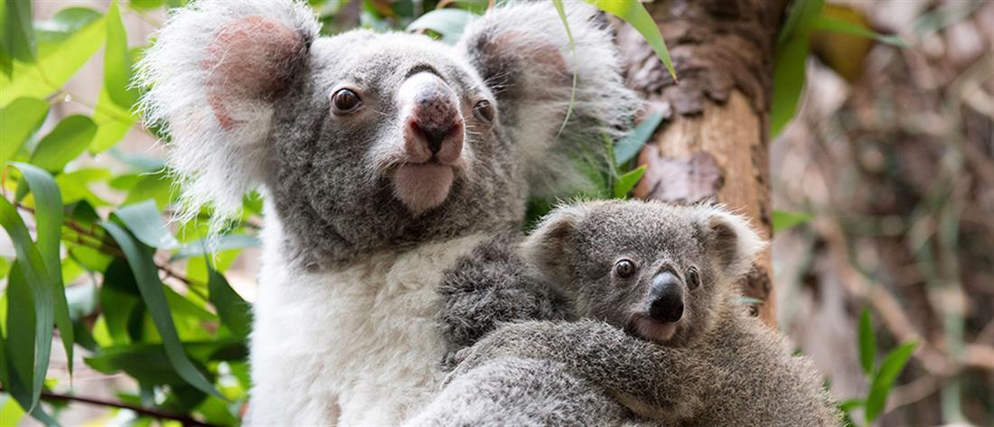 Κοάλα: δύο βασικές αιτίες απειλούν το είδος με εξαφάνιση