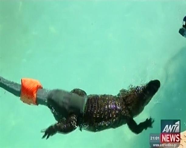 Αλιγάτορας με προσθετική ουρά