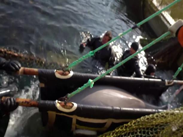 Απελευθερώθηκαν οι αιχμάλωτες φάλαινες μπελούγκα