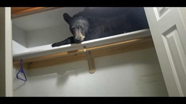 Αρκούδα έπεσε για ύπνο στην... ντουλάπα μιας κρεβατοκάμαρας