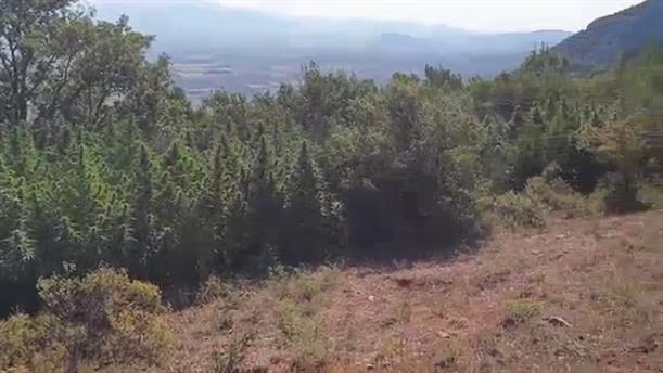 Εντοπισμός φυτείας κάνναβης στη Φθιώτιδα