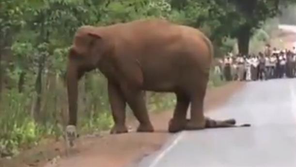 Κοπάδι από ελέφαντες θρηνεί για νεκρό ελεφαντάκι