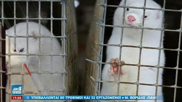 Ξεκίνησε η διαδικασία θανάτωσης των μινκ στην Κοζάνη