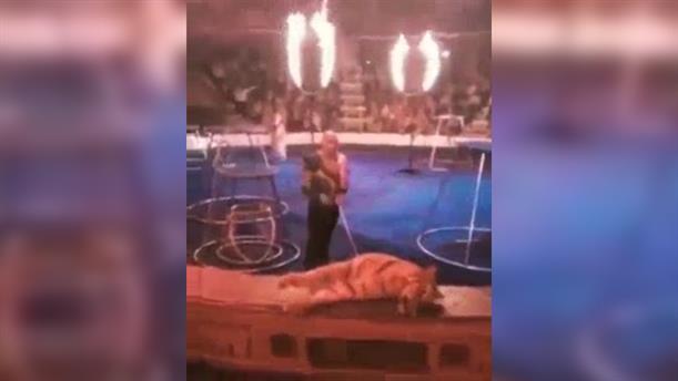 Τίγρης κατέρρευσε μετά από ακροβατικό νούμερο