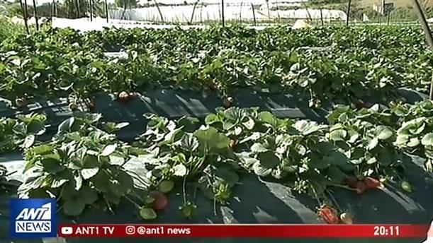 Αυτοψία του ΑΝΤ1 στην Μανωλάδα: οι «ματωμένες φράουλες» και οι άθλιες συνθήκες διαβίωσης των εργατών